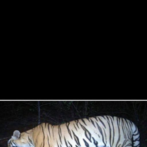 Man-eating tigress shot dead in India