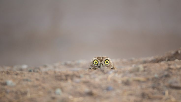 An owl peeks up from the ground, by Shane Keena