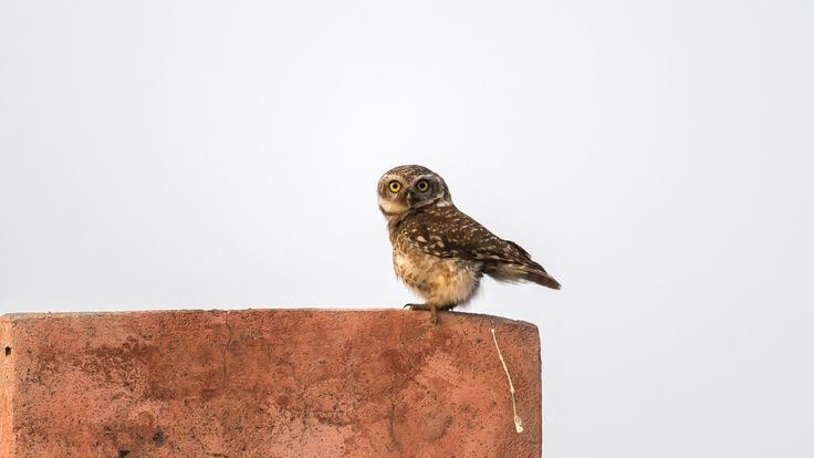 Owl poos off wall, by Arshdeep Singh - for Comedy Wildlife Photography Awards