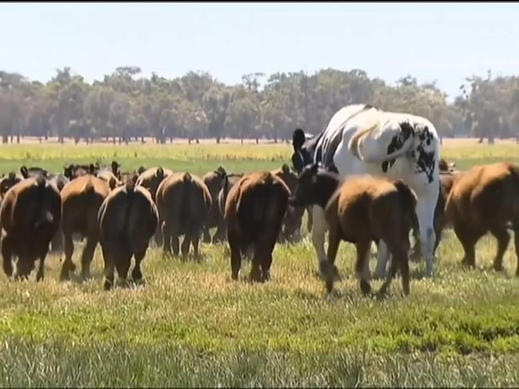 Knickers The Cow Giant Steer Goes Viral After Being Too Big For