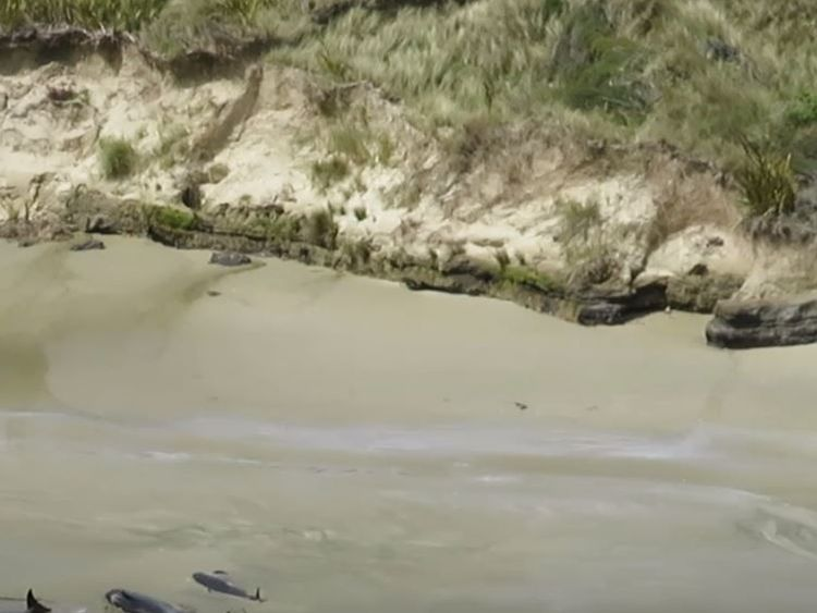 Pilot whales stranded on Stewart Island in New Zealand. Pic Dept of Conservation