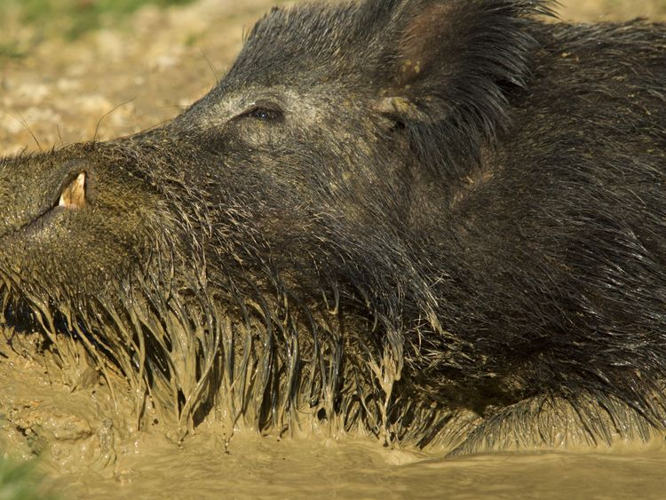A young male wild boar wallowing in mud on a farm in Devon