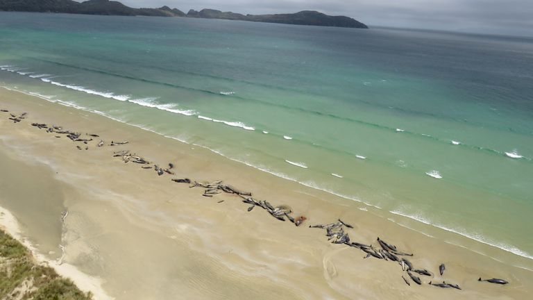 145 pilot whales that died in a mass stranding on a beach on Stewart Island, located south of New Zealand's South Island, November 25, 2018.