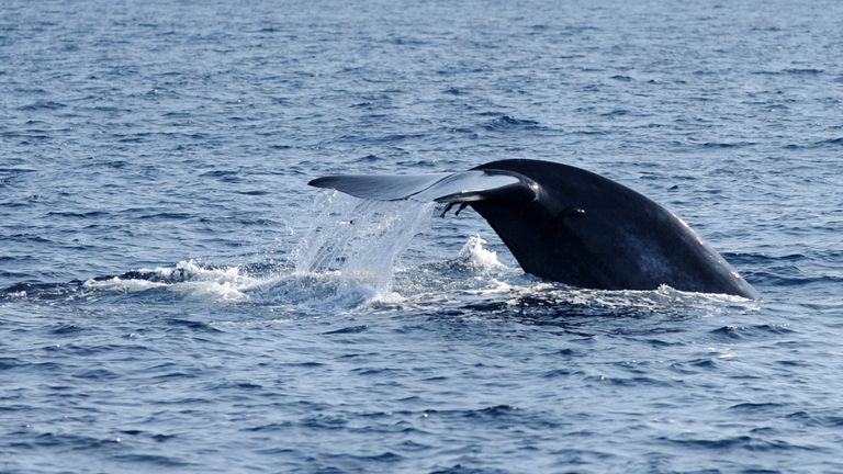 A blue whale's fluke is photographed above the waters off the southern Sri Lankan town of Mirissa on January 21, 2012. Pods of blue, sperm and humpback whales can be easily seen around Sri Lanka for six to eight months a year, while Bryde's whales are somewhat rarer. Out of 81 species of whales, 27 can be seen in the waters around the island. AFP PHOTO/Ishara S. KODIKARA (Photo credit should read Ishara S.KODIKARA/AFP/Getty Images)