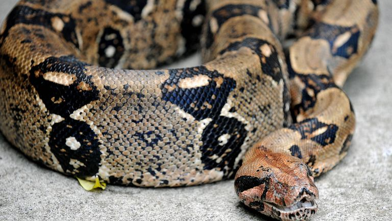 The boa constrictor should not be approached