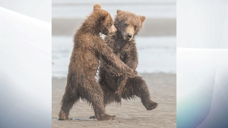 Dancing grizzly bear cubs, by Michael Watts