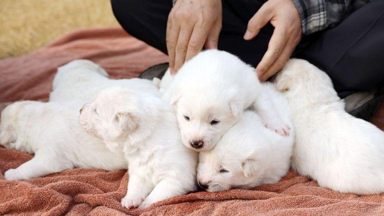 Puppies born to Gomi, given by North Korea to South Korea. Pic: @TheBlueHouseKR