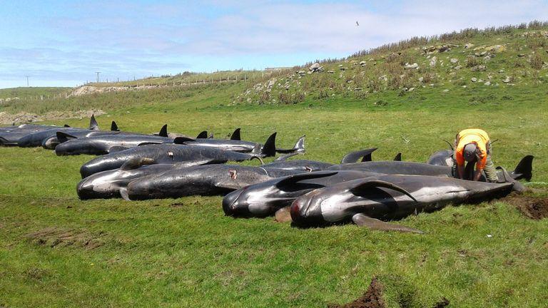 Pilot whale deaths