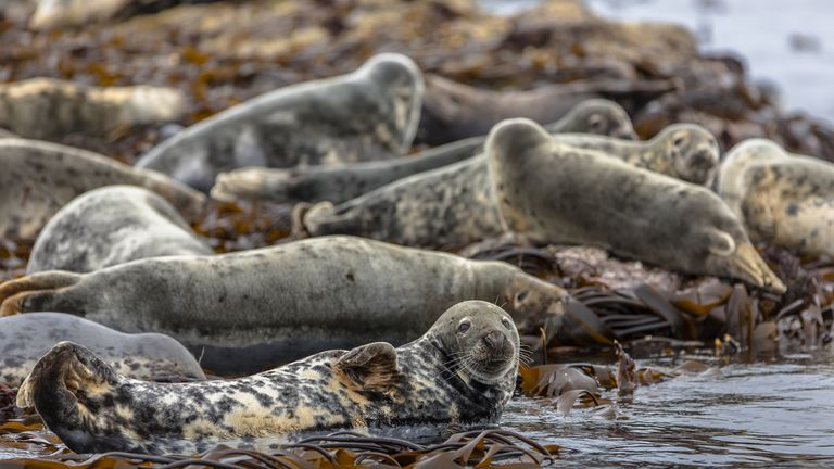 A herd of aggressive seals cornered the man. File pic