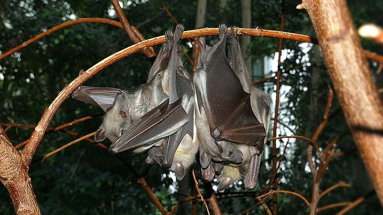 A straw coloured fruit bat