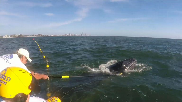 Sea World rescuers assisted a humpback whale calf that became tangled in shark netting off the Gold Coast.