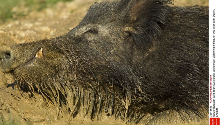A young male wild boar wallowing in mud on a farm in Devon
