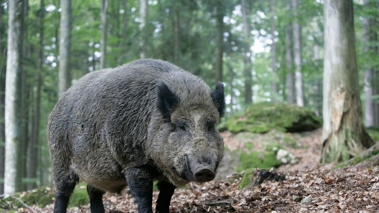 A wild boar in a wood in Germany