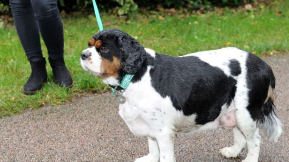 Borris, a once-obese Cavalier King Charles spaniel, after losing 25% of his bodyweight