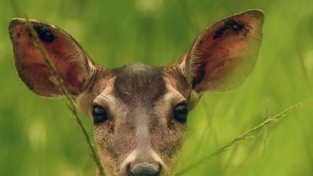 Poacher Who Killed Hundreds Of Deer Sentenced To Repeatedly Watch Bambi