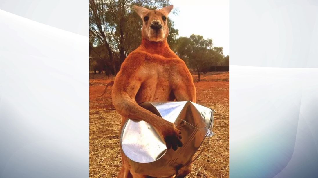 Roger the muscle-bound kangaroo dies in Australia aged 12