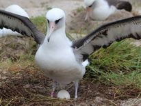 Wisdom and her egg on Midway Atoll. Pic: Madalyn Riley /USFWS