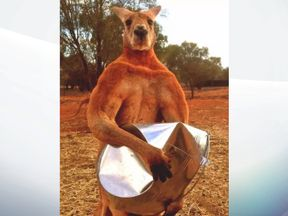 Roger crushed a metal bucket with ease. Pic: The Kangaroo Sancturary Alice Springs/Facebook