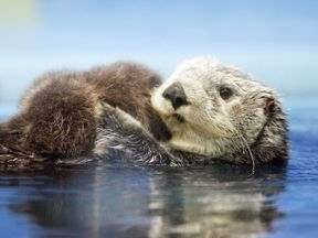 A sea otter can weigh more than 40kg. File pic.