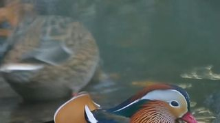 Mandarin duck bathes in attention in New York's Central Park