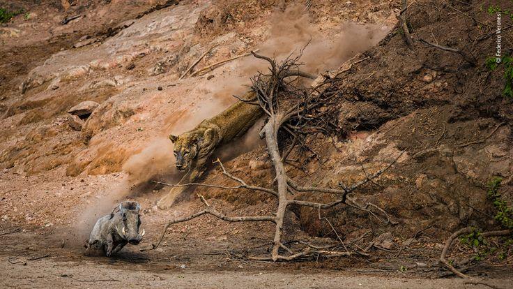 Wildlife Photographer Of The Year - pic by Federico Veronesi