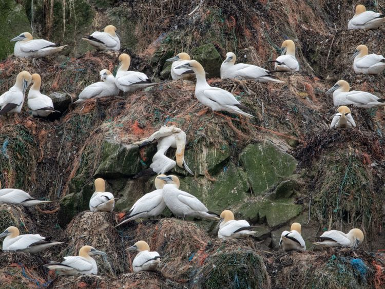 Gannet nests on Alderney have been polluted by plastic. Pic: Alderney Wildlife Trust