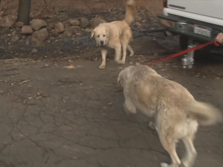 A dog that survived the California wildfire has been waiting at the burnt down remains of his home one month after the fire started. APTN