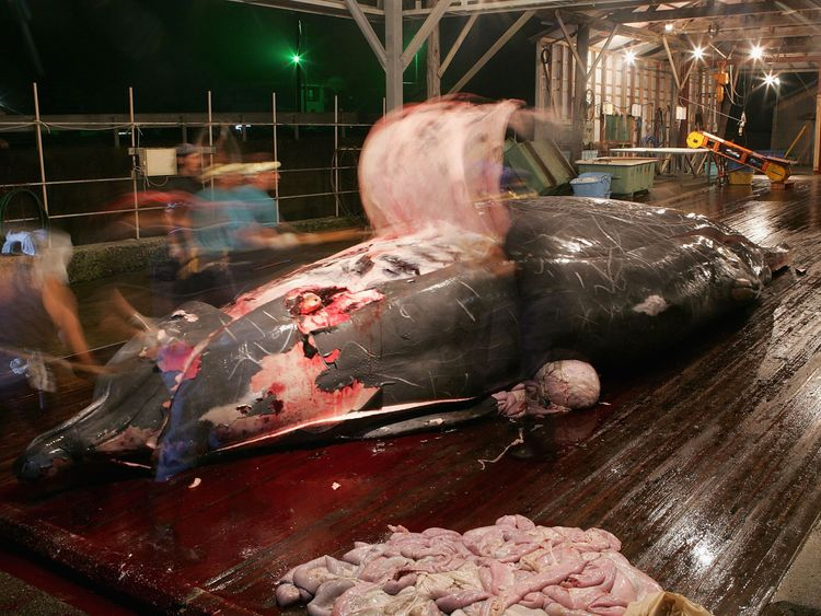 Japanese whalers clean and cut meat from a recent catch at Wada Port on July 29, 2005 in Chiba, Japan
