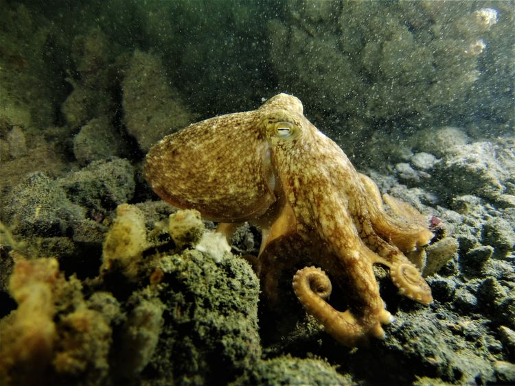Divers in Falmouth Bay caught glimpse of the curled octopus in healthy numbers during the autumn months