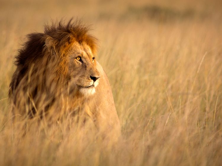 The lion was shot dead after the person was killed. File pic