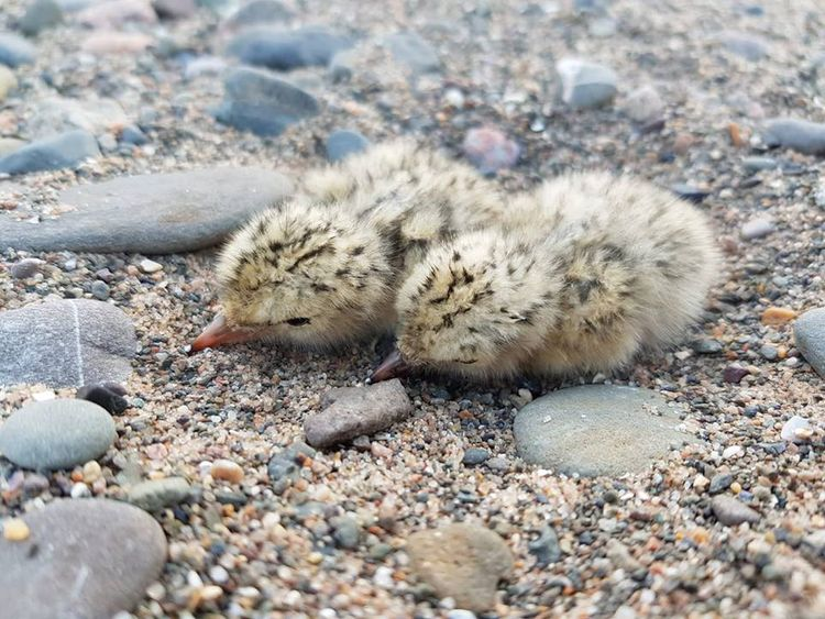 Two little terns on South Walney. Pic: Cumbria Wildlife Trust