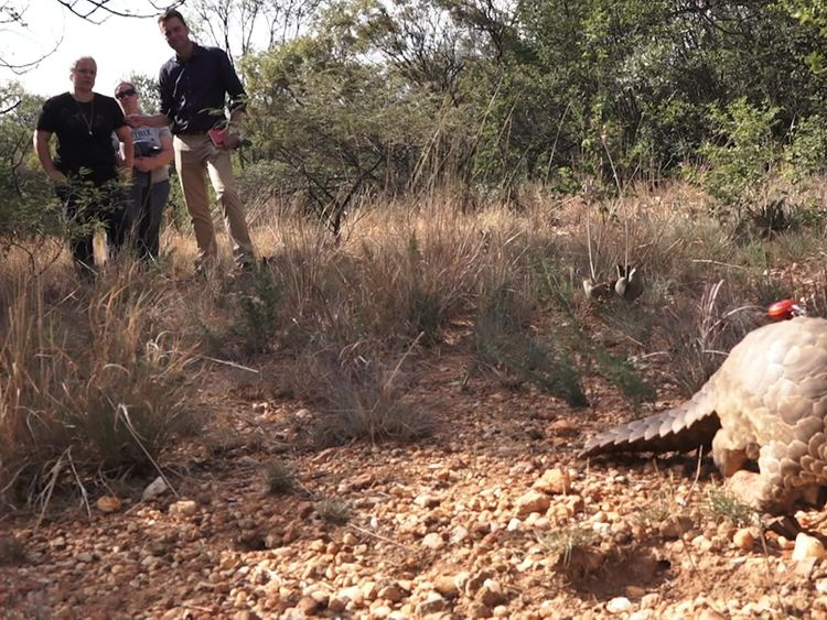 A Pangolin at the Johannesburg Game Reserve Hospital