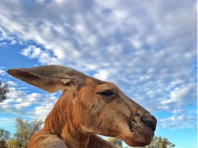 The last picture of Roger, taken a few days before he died. Pic: The Kangaroo Sancturary Alice Springs/Facebook
