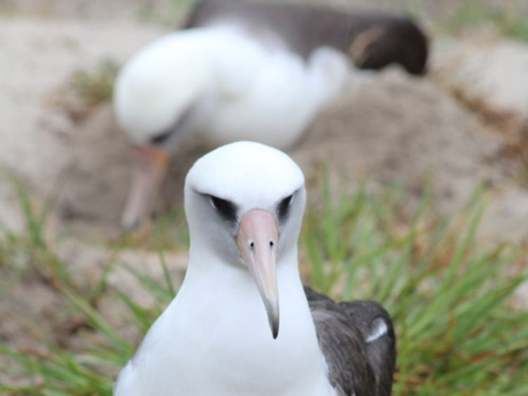 Wisdom and her egg on Midway Atoll in 2018. Pic: Madalyn Riley/USFWS