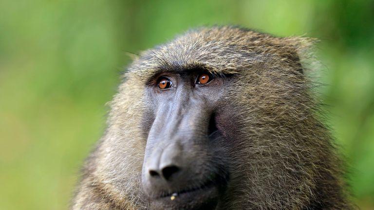 Anubis baboon