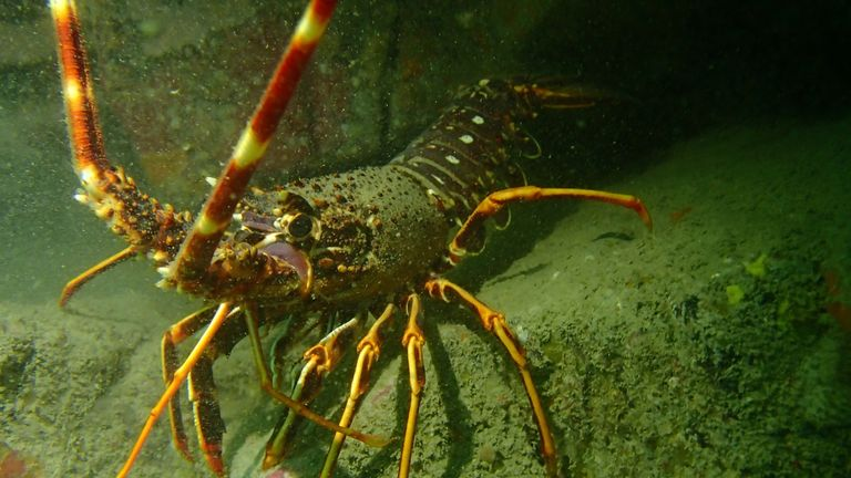 The crawfish made a comeback in Cornwall. Pic: Matt Slater/Cornwall Wildlife Trust
