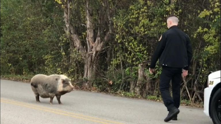 Police in Tennessee usher a runaway pig back to where it should be