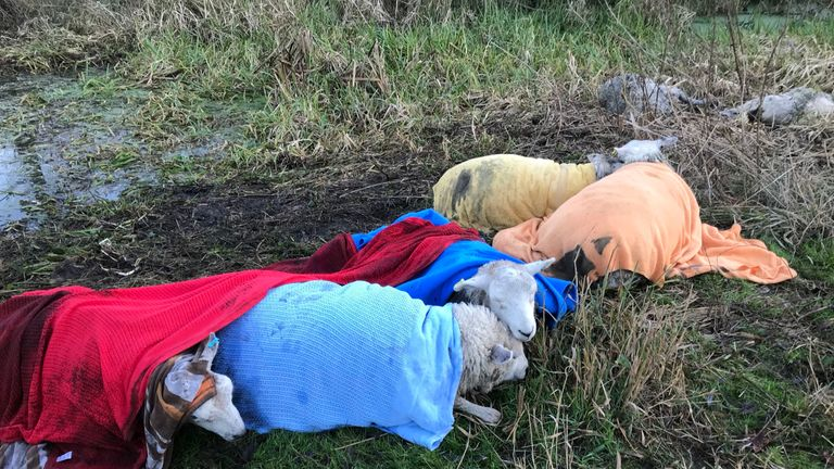 The animals were kept warm with blankets after they were pulled from the water