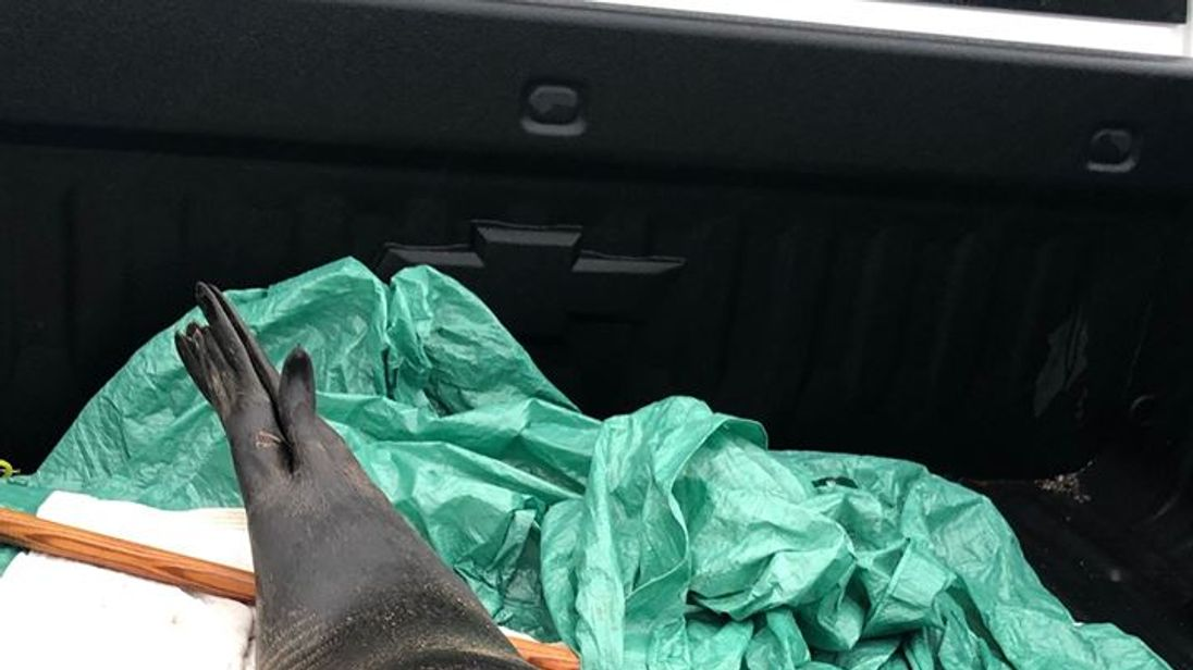 Police returned this seal to the sea after giving it a lift in the back of a truck. Pic: Royal Canadian Mounted Police
