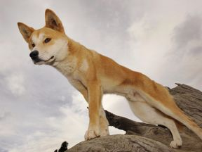 Dingoes are know to attack humans
