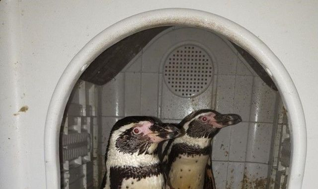 Penguins rescued by police - months after being stolen from zoo