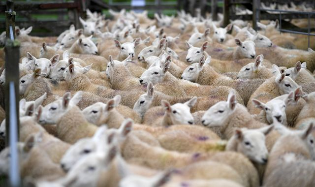 Police looking for 500 sheep stolen from field in Norfolk