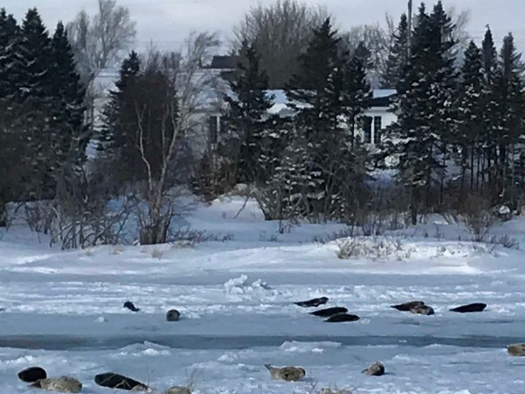 Dozens of seals have been sighted in the town. Pic: Brendon Fitzpatrick