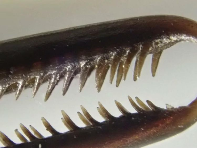 The serrated teeth are designed to tug away rivals. Pic: UC, Berkeley