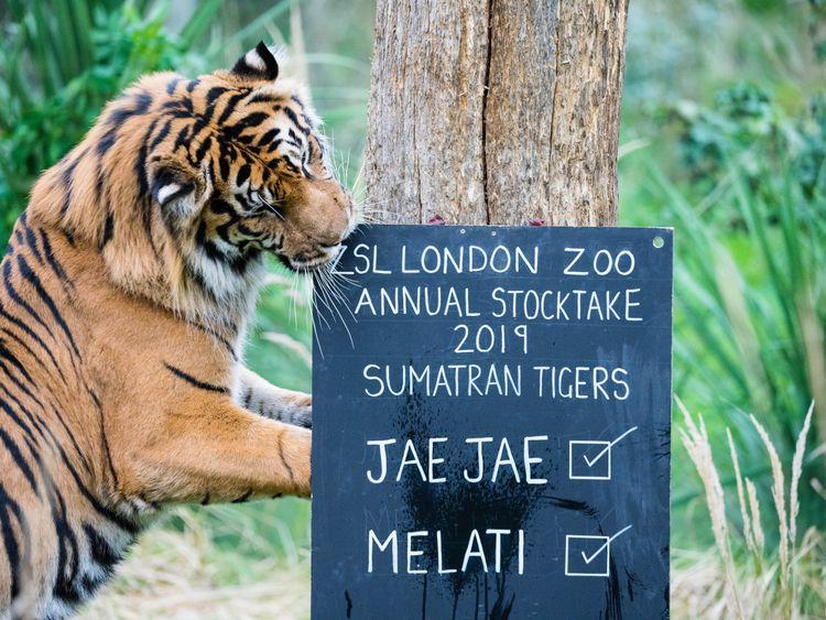 Sumatran tiger Jae Jae checks his enclosure's stocktake