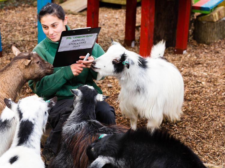 Veronica Heldt counts the pygmy goats