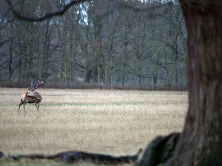 A deer in Windsor Great Park after a brief snow flurry