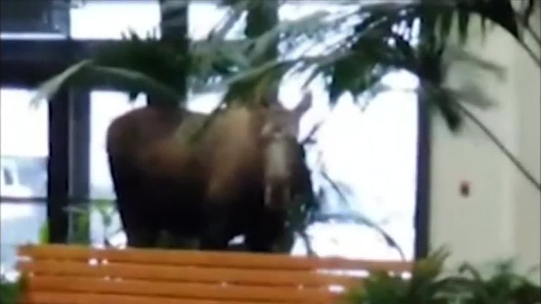 A moose wandered into a hospital, ate some plants and exited using a motion-activated door that was stuck open.