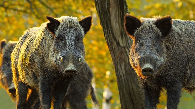 Wild boars carry African swine fever which can be deadly for the animals