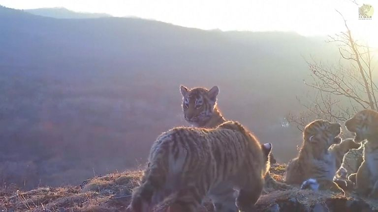 The footage was captured by a hidden camera trap installed in a national park in Primorsky Krai, eastern Russia.